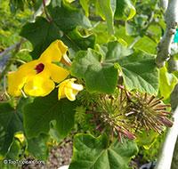 Uncarina grandidieri, Harpagophytum grandidieri, Mouse trap tree, Succulent Sesame  Click to see full-size image