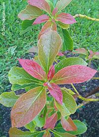 Persea americana, Persea gratissima, Avocado, Alligator Pear, Aguacate, Abacate  Click to see full-size image