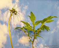 Tacca leontopetaloides, Green Bat Flower, Polynesian Arrowroot  Click to see full-size image