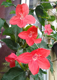 Ruellia affinis - Flower of Caipora  Click to see full-size image