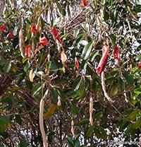 Capparis cynophallophora, Quadrella jamaicensis, Jamaica Caper Tree, Mustard Tree  Click to see full-size image