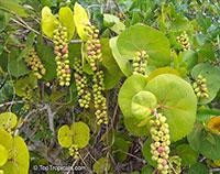 Coccoloba uvifera, Sea grape  Click to see full-size image
