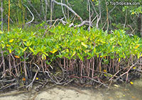 Rhizophora mangle, Red Mangrove  Click to see full-size image