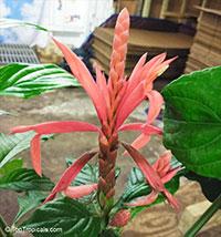 Aphelandra sp., Shrimp Plant, Coral Aphelandra  Click to see full-size image