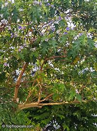 Solanum macranthum, Solanum wrightii, Giant Potato Tree  Click to see full-size image