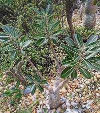 Pachypodium rosulatum, Elephant's Foot Plant, Pachypodium  Click to see full-size image