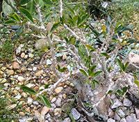 Pachypodium saundersii, Pachypodium lealii subs. saundersii, Pachypodium saundersii  Click to see full-size image