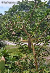 Rhodocactus grandifolius, Pereskia grandifolia, Pereskia grandiflora, Rose Cactus, Wax Rose, Perescia, Bastard Rose  Click to see full-size image