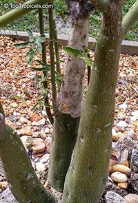 Adenia venenata, Modecca abyssinica, Adenia  Click to see full-size image