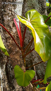 Philodendron Anderson Red  Click to see full-size image