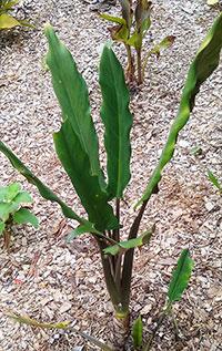 Alocasia lauterbachiana, Alocasia  Click to see full-size image