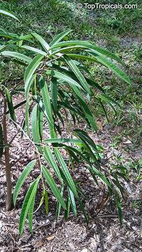 Ficus maclellandii, Ficus binnendijkii, Long-leaf fig, Alii fig, Banana-leaf fig  Click to see full-size image