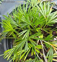 Actiniopteris semiflabellata, Eyelash Fern  Click to see full-size image