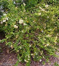 Koanophyllon villosum, Eupatorium villosum, Jack-Ma-Da, Bitter Sage, Thoroughwort  Click to see full-size image