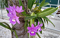Unknown 101, Orchid  Click to see full-size image