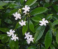 Tabernaemontana sp., Tabernaemontana  Click to see full-size image