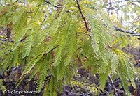 Taxodium distichum, Bald cypress, Swamp cypress  Click to see full-size image