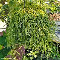 Rhipsalis capilliformis - Old Mans Beard Cactus  Click to see full-size image