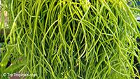 Rhipsalis sp., Mistletoe  Click to see full-size image
