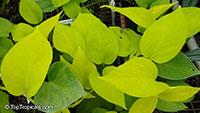 Epipremnum aureum 'Neon', Golden Neon Pothos, Golden Heart, Lemon Lime   Click to see full-size image