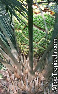 Lepidozamia peroffskyana, Pineapple ZamiaClick to see full-size image