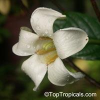 Euclinia longiflora - African Tree Gardenia  Click to see full-size image