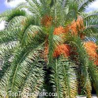 Phoenix canariensis, Canary Island Date Palm  Click to see full-size image
