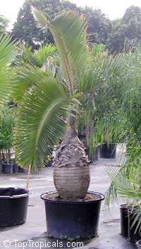 Hyophorbe verschaffeltii - Spindle palm