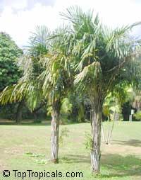 Syagrus schizophylla, Cocos schizophylla, Arikuryroba schizophylla, Arikury Palm  Click to see full-size image
