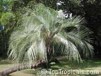 Butia capitata, Cocos capitata, Butia pulposa, Syagrus capitata, Pindo, Jelly Palm  Click to see full-size image