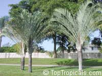 Dypsis decaryi, Neodypsis decaryi, Triangle Palm  Click to see full-size image