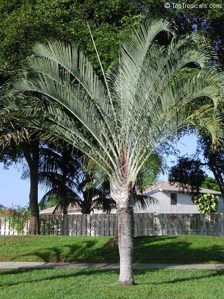 Dypsis Decaryi Neodypsis Decaryi Triangle Palm