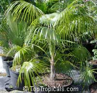 Coccothrinax miraguama, Miraguama Palm  Click to see full-size image