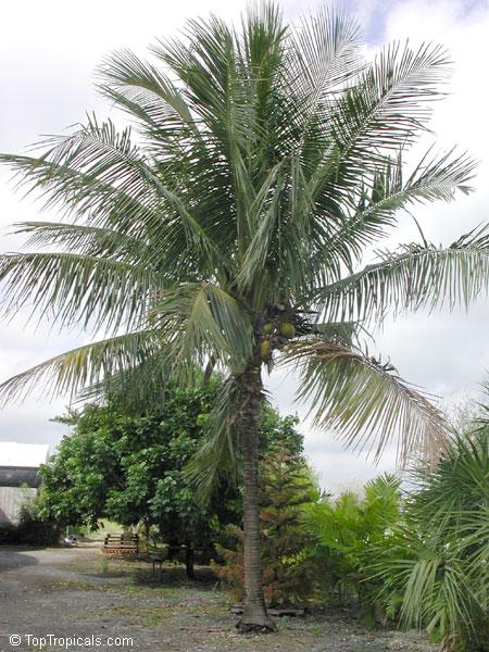 Cocos Nucifera Coconut Palm Coco Do Baia Toptropicals Com