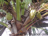 Cocos nucifera, Coconut Palm, Coco-do-baia  Click to see full-size image