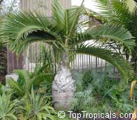 Hyophorbe lagenicaulis, Mascarena lagenicaulis, Bottle PalmClick to see full-size image