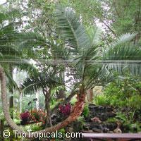Phoenix reclinata, Reclinata Date Palm, Senegal Date, African Wild Date  Click to see full-size image