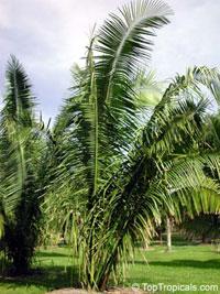 Orbignya speciosa, Attalea speciosa, American Oil Palm, Babassu Palm  Click to see full-size image