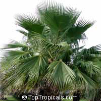 Washingtonia robusta, Washingtonia, Mexican Fan Palm  Click to see full-size image