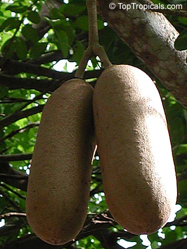 Kigelia Pinnata Sausage Tree Toptropicals Com