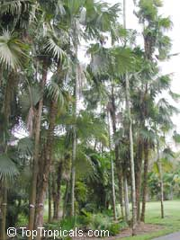 Coccothrinax barbadensis, Silver Thatch, Barbados Silver Palm  Click to see full-size image