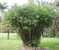 Chamaedorea seifrizii, Chamaedorea erumpens, Bamboo Palm  Click to see full-size image