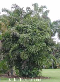 Caryota mitis, Fish Tail Palm  Click to see full-size image