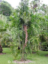 Dypsis lanceolata, Dypsis  Click to see full-size image