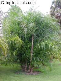 Syagrus stenopetala, Syagrus  Click to see full-size image