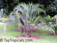 Butia eriospatha, Cocos eriospatha , Jelly Palm