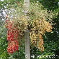 Veitchia montgomeryana, Montgomery PalmClick to see full-size image