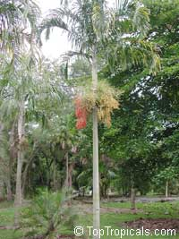 Veitchia montgomeryana, Montgomery Palm  Click to see full-size image