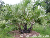 Hyphaene coriacea, Hyphaene natalensis, Elala PalmClick to see full-size image