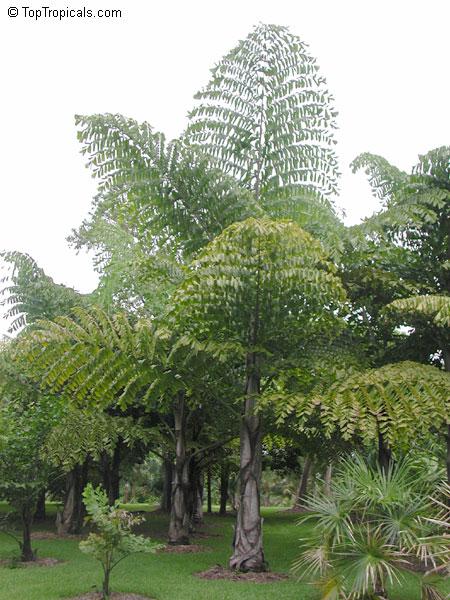 Caryota Gigas Thai Mountain Giant Toptropicals Com
